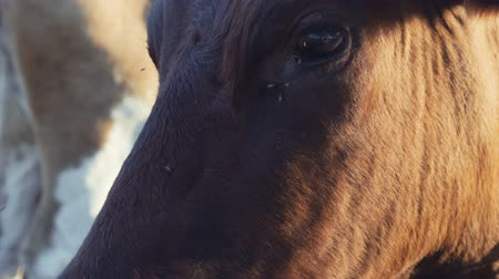 dairy cattle : portrait of a cow close-up on a farm Stock Footage