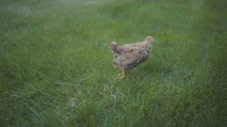 baby chicken : footage little chick walking outdoors on green grass.