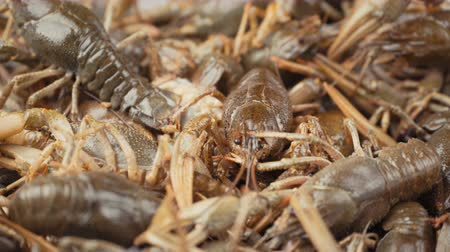 homar : Footage live crayfish close-up rotate on a tray. Wideo