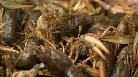 crawfish : Footage live crayfish close-up rotate on a tray. Stock Footage