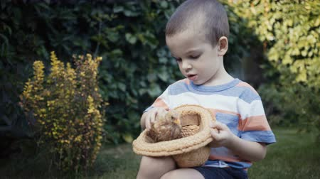 baby chicken : footage farm boy holding a small chick in the hands outdoor.