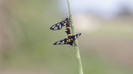 güve : Two clear wing moths are mating in the grassland Stok Video