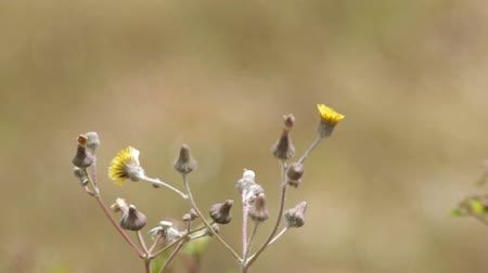 locomotion : Wild dandelion flower shoot moving with the wind