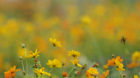 locomotion : Yellow cosmos flowers swing with gently wind in the garden