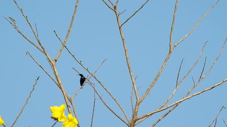 sunbird : footage of Purple Sunbird is resting on the tree branch and fly away