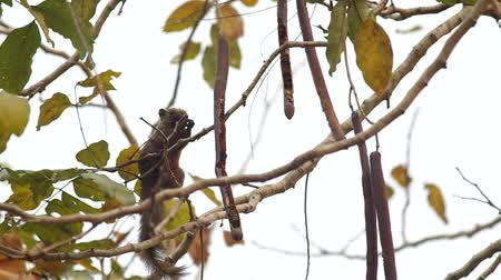 branquear : footage of squirrel is taking and eating seed for food on the tree Vídeos