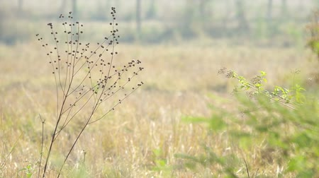 locomotion : weeds in the dry paddy field are shaking with the gently wind Stock Footage