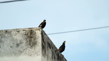 locomotion : White-vented Myna birds are resting on the building
