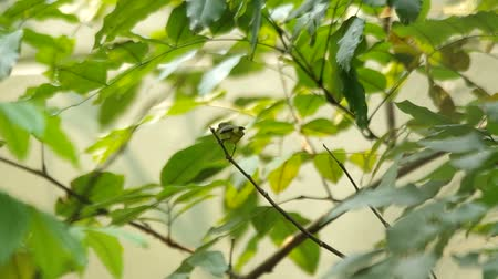 sunbird : a little sunbird is staying on the tip of twig Stock Footage
