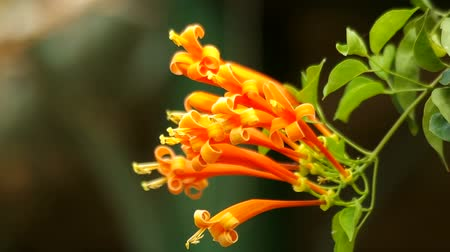 locomotion : Orange trumpet flowers are shaking with the wind