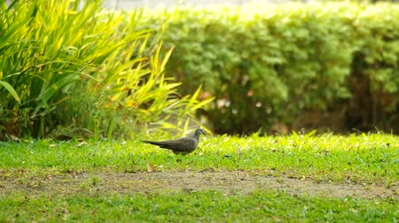 locomotion : spotted dove is walking on the grass in the garden