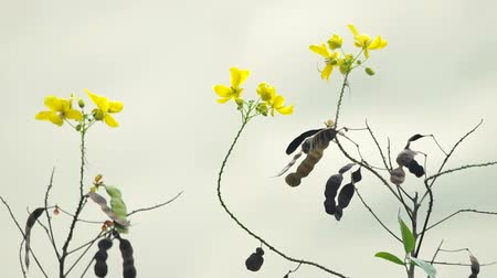 locomotion : Scrambled Egg Tree flowers and seed pods are shaking with wind