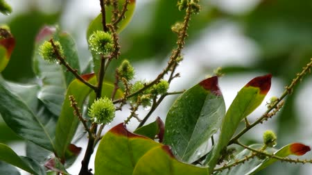lychees : young lychee fruits are shaken with the wind after rain Stock Footage
