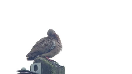 locomotion : a spotted dove is cleaning its chest and wings