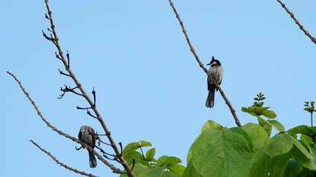 locomotion : a couple of red-whiskered bulbul is resting on the plant shoot and flying away Stock Footage