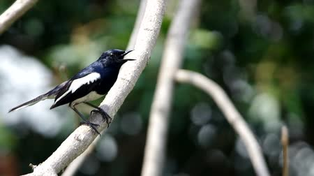 locomotion : oriental magpie-robin is standing on the shaken tree branch Stock Footage