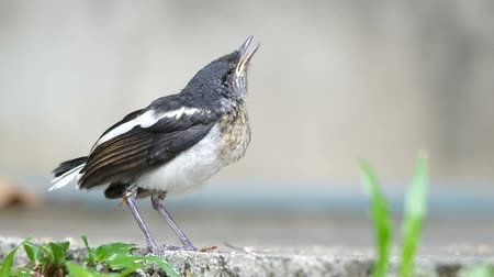 ptak : young injured oriental magpie-robin is calling the parent