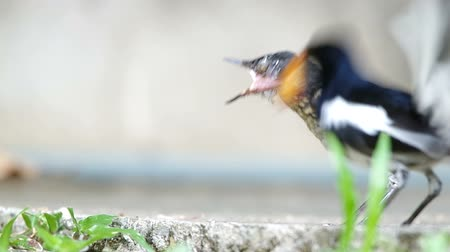 locomotion : parent bird is giving the insects as food for a young injured oriental magpie-robin Stock Footage