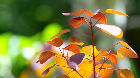 locomotion : young red leafs are shaking with the wind