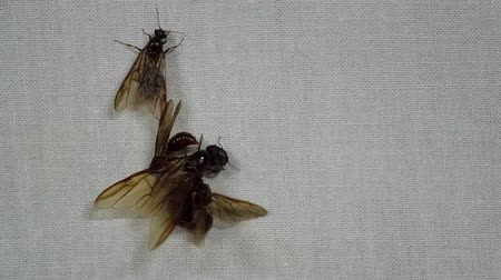 páření : male winged ant is mating to the female ant on the white cloth sheet