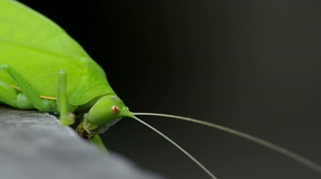 gafanhoto : close up to the head of katydid