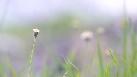 rack focus : rack focus of Coatbuttons flower in the grassland