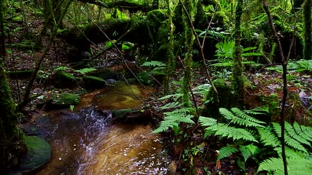 mossy forest : water forming to stream at the spring source in the headwater area in dense tropical forest Stock Footage