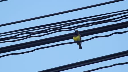 sunbird : olive-backed sunbird is cleaning its chest on the electric line Stock Footage