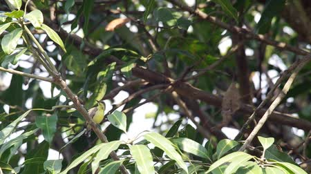sunbird : olive-backed sunbird is resting and cleaning its wings under the shade Stock Footage