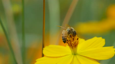 pszczoła : a honey bee is collecting nectar from cosmos flower