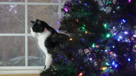 kotki : cat behind christmas tree Wideo