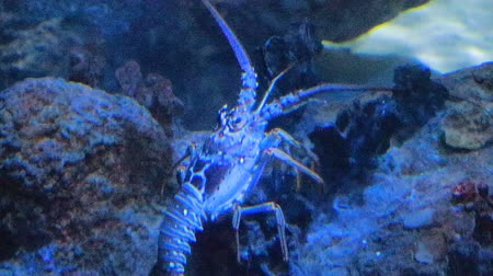 омар : large lobster crawling in salt water tank
