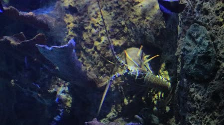 fish eye : large lobster crawling in salt water tank
