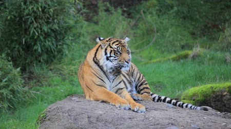 Бенгалия : Tiger laying on a rock