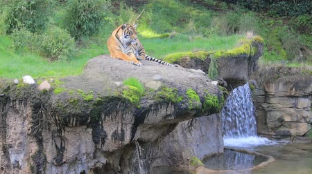 endangered species : Tiger laying next to waterfall Stock Footage