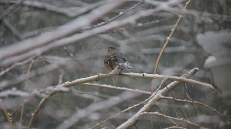 ormanda yaşayan : young american robin on snowy cherry tree 2 Stok Video