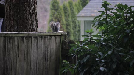 haşarat : gray squirrel on fence during start of snow fall