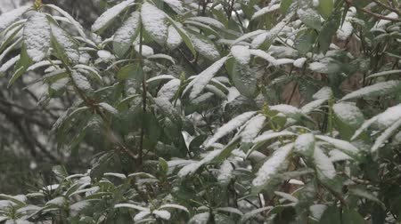 estame : snow falling down on rhododendron bush in winter