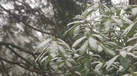 estame : panning down snow on rhododendron bush in winter