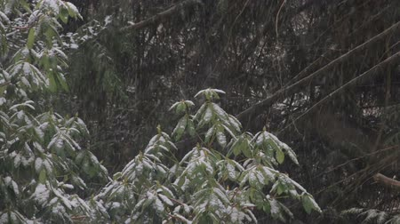 estame : snow on rhododendron bush in winter with pines behind