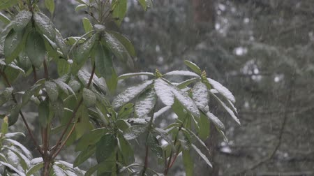 estame : snow on budding rhododendron bush in winter