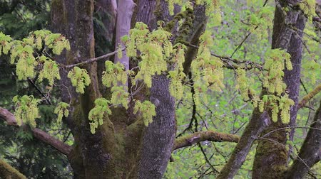 spletitý : green blossoms in spring on large multi trunked tree