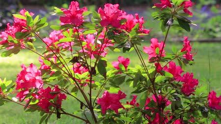 slow pan of red flowering azalea blowing in the breeze Stok Video