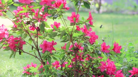 red flowering azalea blowing in the breeze panning upward