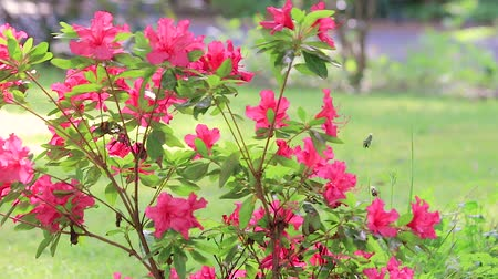 red flowering azalea blowing in the breeze panning down Stok Video