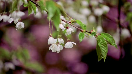 femenine : rain drops on bunch of white cherry blossoms in early spring