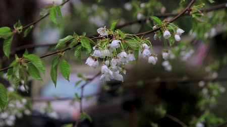 femenine : group of cherry blossoms drip after storm Stock Footage