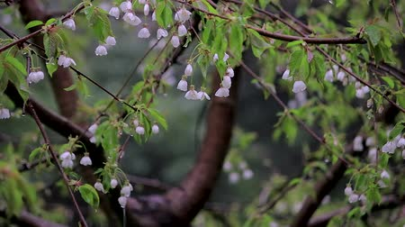 oriental cherry tree : bunch of white cherry blossoms dripping in spring storm