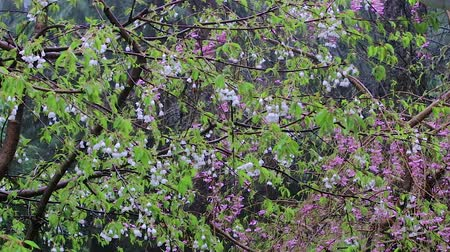 femenine : bunch of pink cherry and white cherry blossoms in rain storm