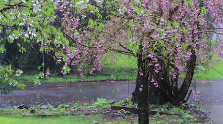 femenine : bunch of pink cherry and white cherry blossoms in rain storm along street